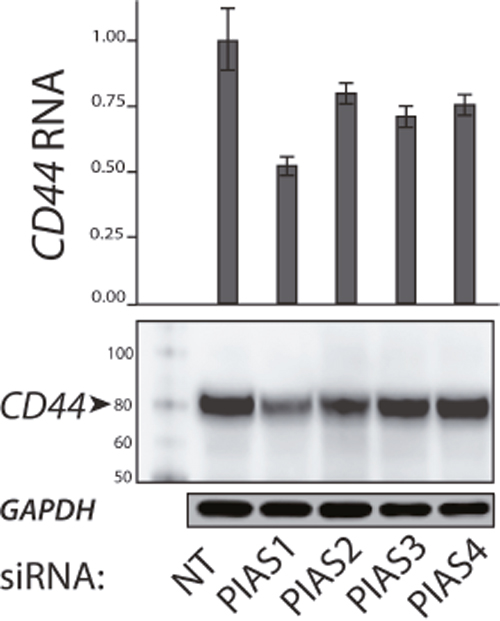 Expression of CD44 with Knockdown of PIAS1-4 Proteins.