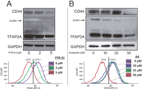 Repression of CD44 with SUMO Inhibitors in 8505C Cells.