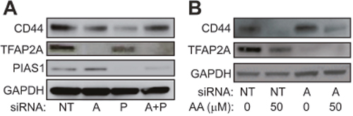 Effect of SUMO Inhibition are Mediated by TFAP2A.