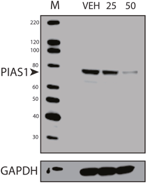 Repression of PIAS1 with Anacardic Acid Treatment.