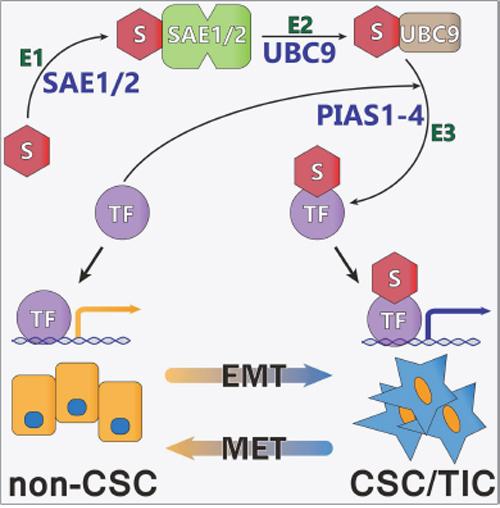 Model of Regulation of CSC/TIC Phenotype Through Sumoylation of TFAP2A.
