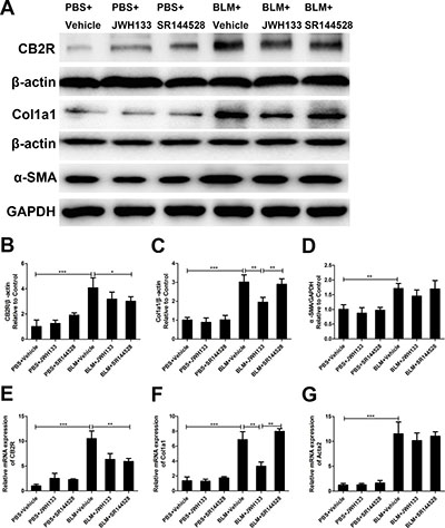 CB2R agonist JWH133 prevents bleomycin-induced collagen I expression in mice lung tissue.