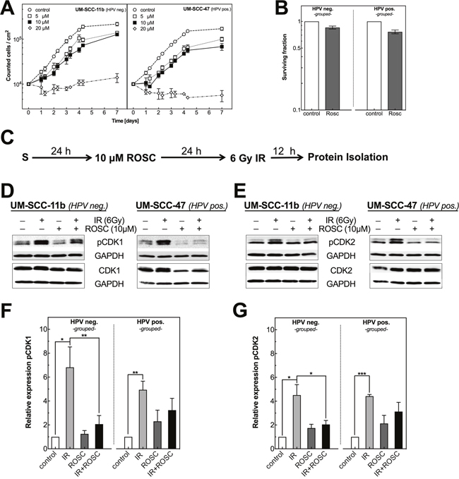 Roscovitine affects proliferation as well as CDK1, CDK2 phosphorylation in HPV neg. and pos. HNSCC cell lines.