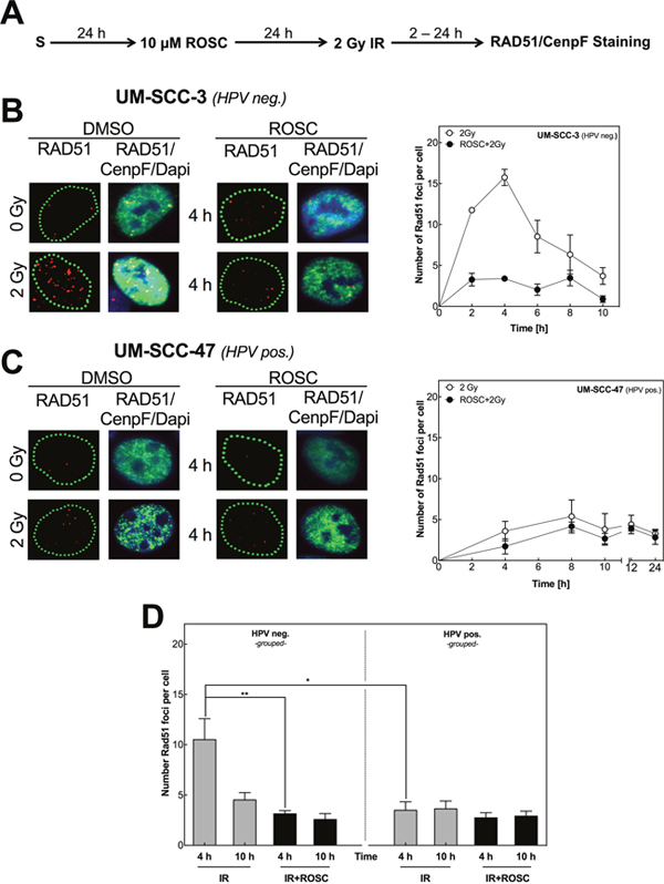 Roscovitine inhibits RAD51 foci formation only in HPV neg. cell lines.