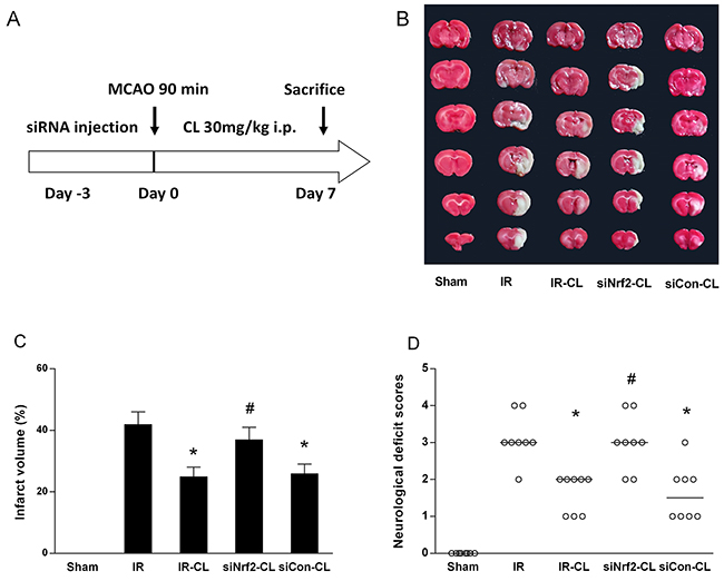 CL reduce brain injury and improves neurological outcome.