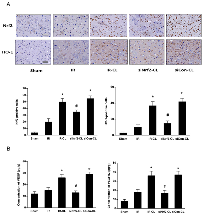 CL upregulates Nrf2/HO-1 and VEGF/VEGFR2 signaling pathway after stroke.