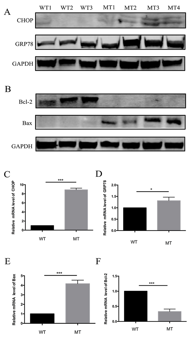 Expression of regulation proteins of apoptosis and ER stress pathways in WT and MT keratocytes.