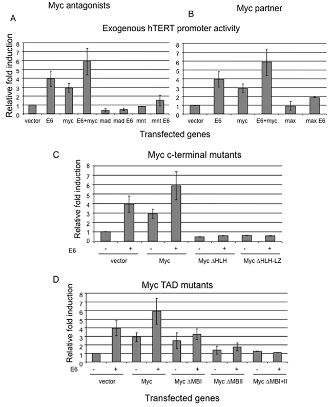 Interference with the balance of Myc/Max network abolishes E6 induction of hTERT promoter.