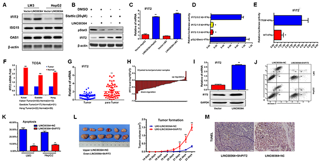 LncRNA00364 increases apoptosis through upregulation of IFIT2 in vitro and in vivo.