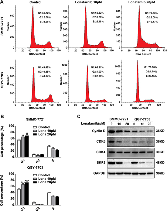 Lonafarnib causes G1 to S phase arrest in HCC cells.