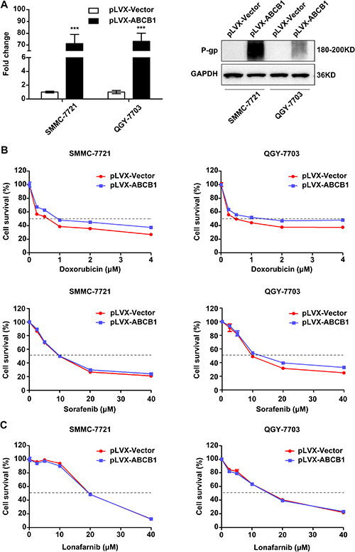 ABCB1 overexpression promotes the chemoresistance phenotype in HCC cells.