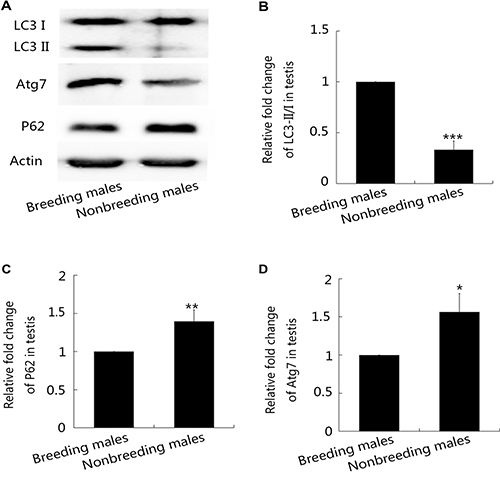 Western blot analysis of autophagy levels in breeding and nonbreeding male NMR testes.