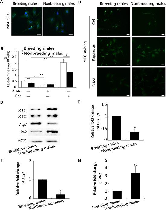 High autophagy levels in Leydig cells inhibit testosterone production.