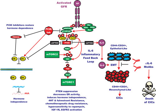 Effects of Targeting PI3K/PTEN/Akt/mTORC1 and IL-6 on Breast Cancer Hormonal Dependency, EMT and CICs.