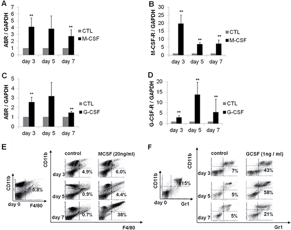 ABR expression is increased during myelopoiesis of mouse bone marrow cells.