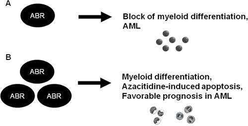 Schematic representation of a model for the role of ABR in normal myelopoiesis and in AML.