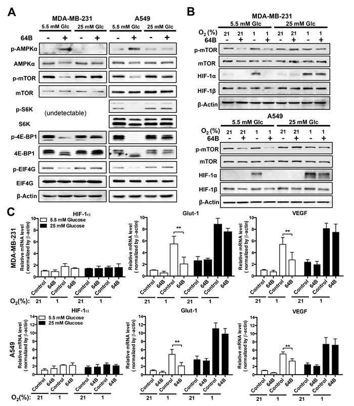 64B downregulates mTORC1 signaling and disrupts HIF-1 transactivation in tumor cells.