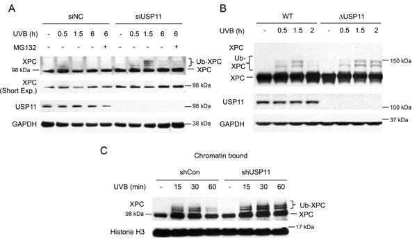USP11 deubiquitinates XPC at the chromatin following UVB damage.