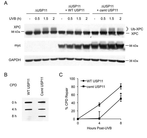 Catalytic activity of USP11 is essential to regulating XPC deubiquitination and NER after UVB exposure.