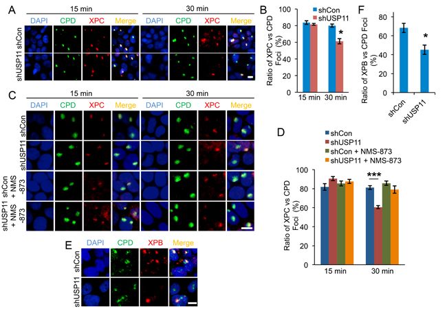 USP11 knockdown leads to premature dissociation of XPC from the DNA damage sites by VCP/p97.