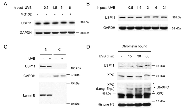 UVB induces USP11 recruitment to the chromatin.