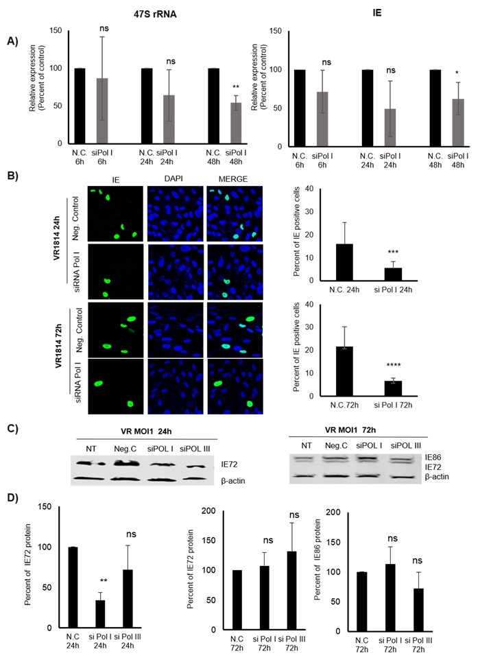 Inhibition of Pol I by siRNA affects 47S and IE (transcripts and proteins) in HCMV infected MRC5 cells.