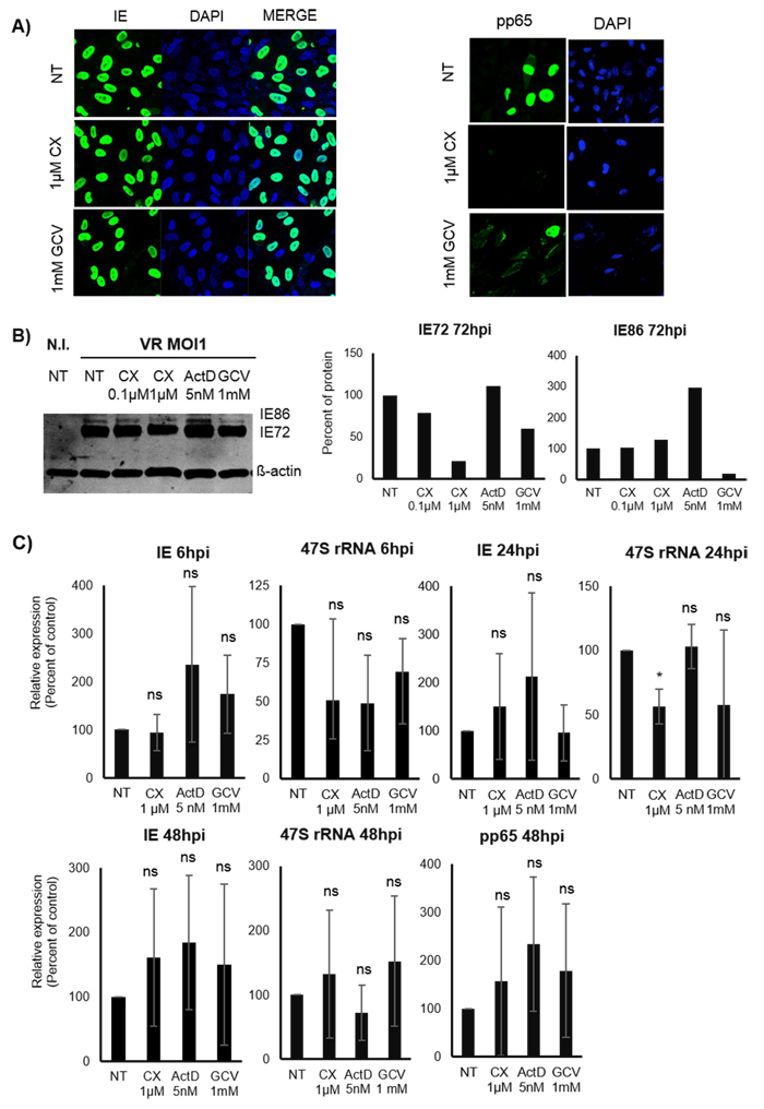 Effect of Pol I inhibition by CX-5461 on the HCMV IE and pp65 proteins and transcripts in untreated and pre-treated HCMV infected HUVEC cells.