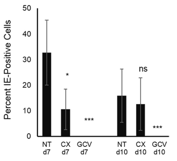 Production of infectious HCMV is not affected by Pol I inhibition at late time post infection.