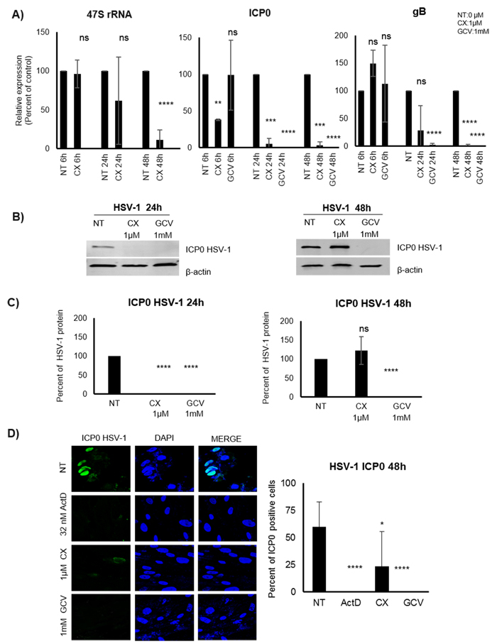 Effect of the Pol I inhibition by CX-5461 on HSV-1 infected MRC5 cells.