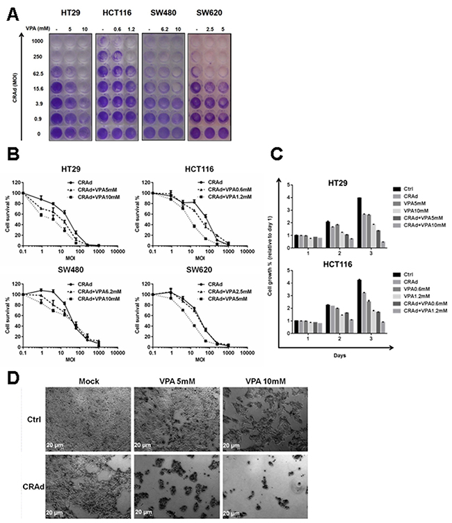 Reduced growth of CRC cell lines after combined treatment with CRAd and VPA.