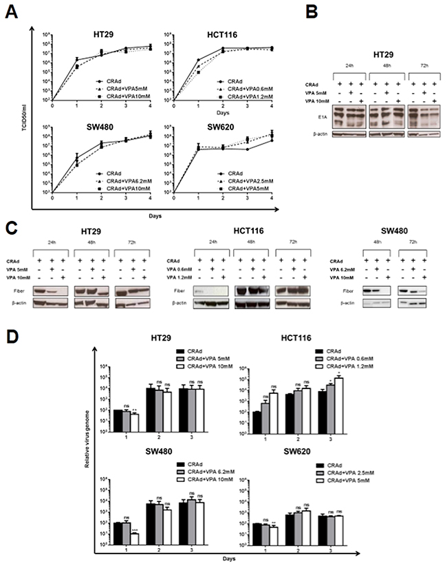 Effect of VPA on CRAd production in CRC cell lines.