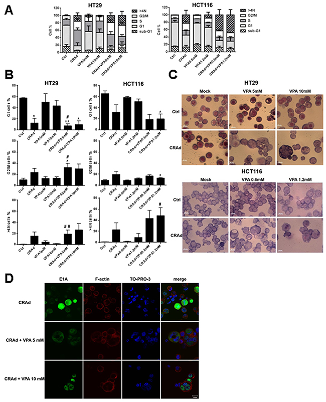 Modification of cell cycle and cell nuclei number after CRC cell line treatment with CRAd and VPA.