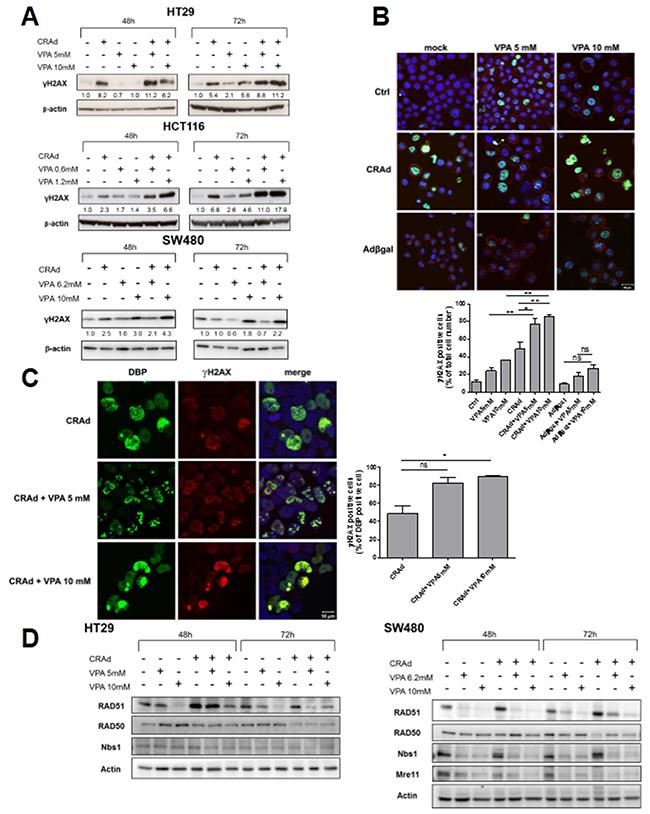 γH2AX induction and inhibition of DNA repair proteins after co-treatment of CRC cell lines with CRAd and VPA.