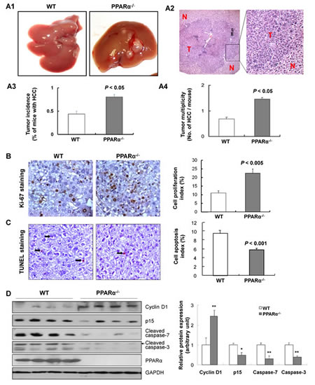 PPARα loss increases susceptibility to DEN-induced hepatocarcinogenesis.