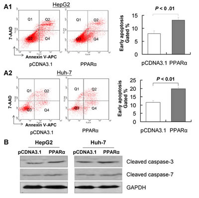PPARα induces apoptosis of HCC cells in vitro.