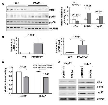 PPARα exerts inhibitory effects on NF-κB signaling in vitro.