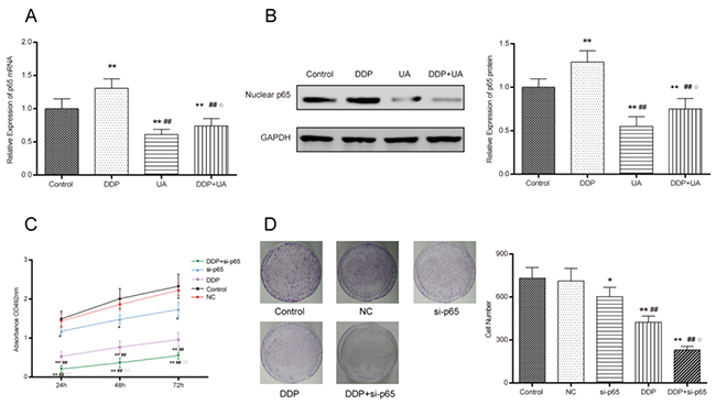 UA restrained DDP-induced NF-κB p65 activation in SiHa cells.