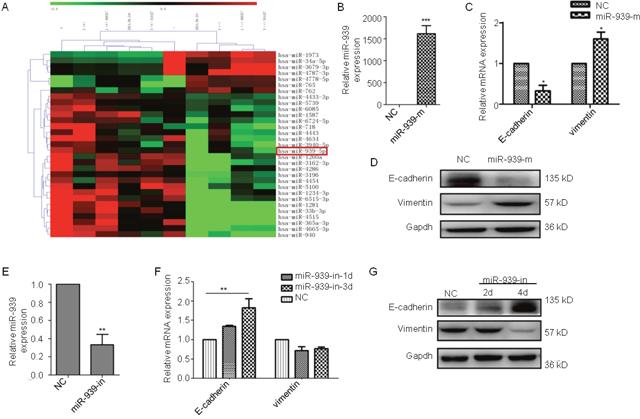 miR-939 promotes EMT in ovarian cancer.