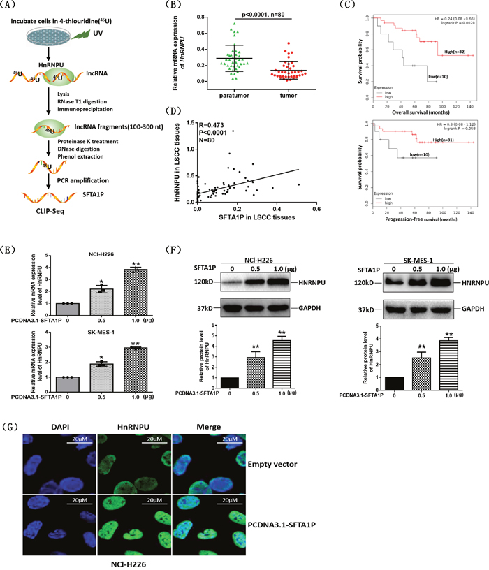 LncRNA SFTA1P upregulated the expression of hnRNP-U.