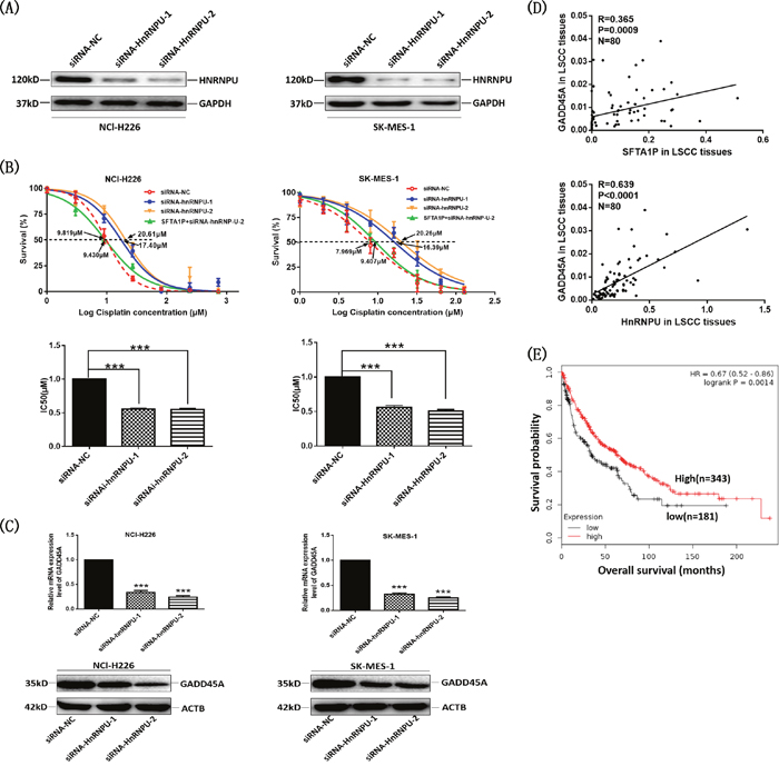 LncRNA SFTA1P and hnRNP-U expression were correlated with GADD45A expression in LSCC cells and tissues.
