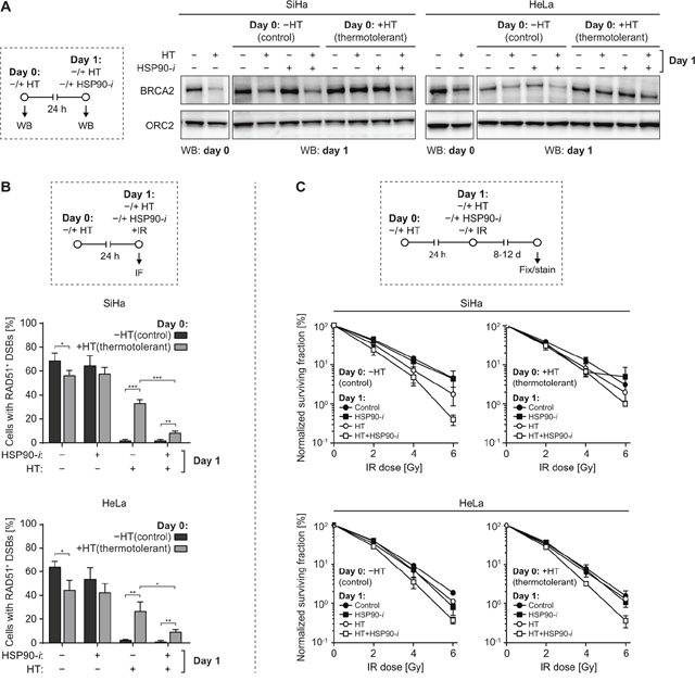 Inhibition of HSP90 reduces thermotolerance.
