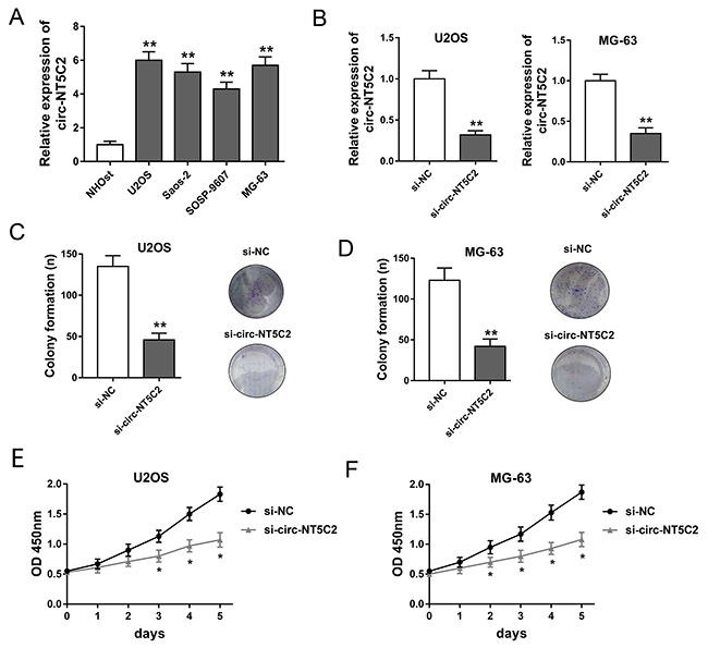 Circ-NT5C2 silencing suppressed osteosarcoma cells proliferation in vitro.