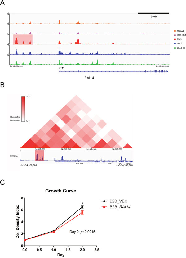 ChIP-seq binding profiles, Hi-C heat map at RAI14 in A549 and growth curve.