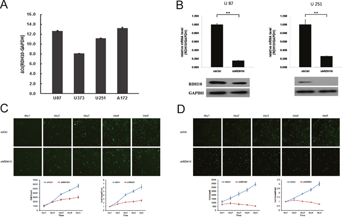 Lentiviral-mediated RDH10 knockdown suppressed human glioma proliferation.