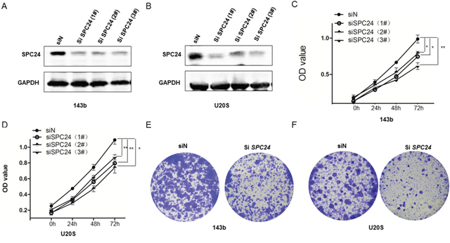 SPC24 knockdown decreases growth, viability and colony formation in 143B and U2OS cells.