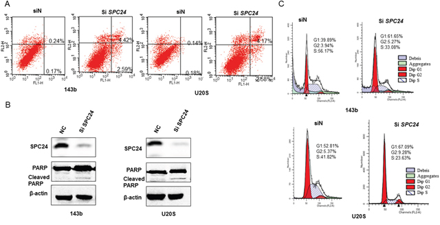 SPC24 knockdown promotes apoptosis and G1-S cell cycle arrest in 143B and U2OS cells.