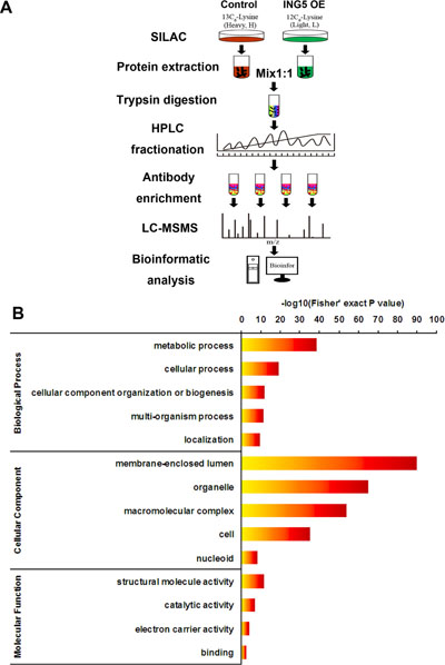 Profiling Lys acetylation proteome in control and ING5 overexpression lung cancer A549 cells.
