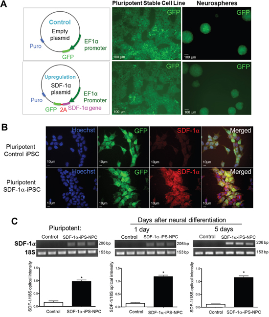 SDF-1α expression before and after neuronal differentiation of iPS cells.