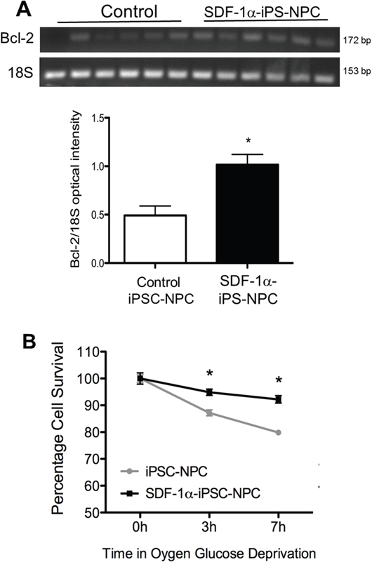SDF-1α expression increased cell survival after in vitro ischemic insult.