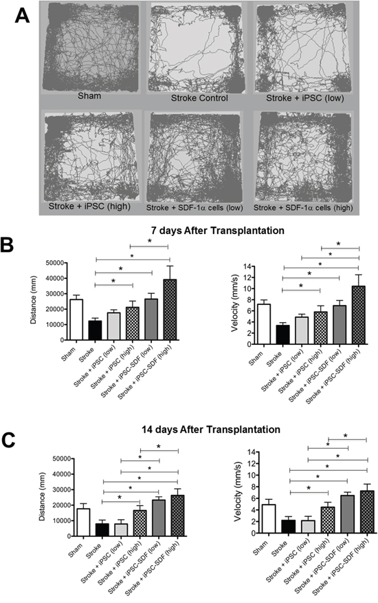 Transplantation of iPS-NPCs increased locomotor functional recovery after stroke.